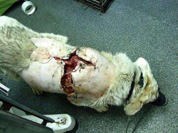Травмы у собак, порезы покусы разрывы, первая помощь травмах ...