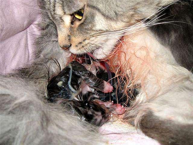 сколько длятся роды у первородящих кошек