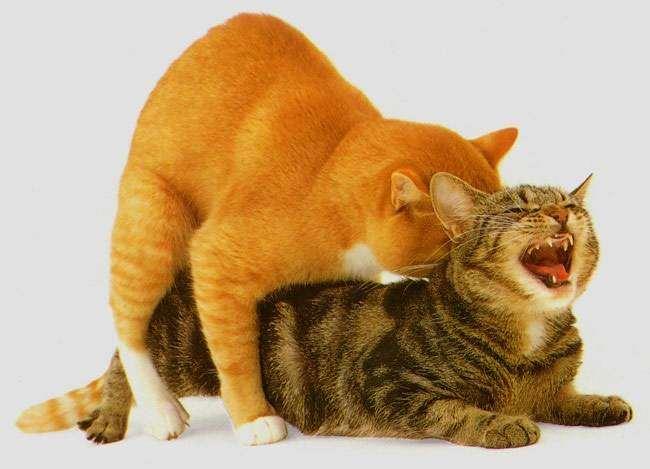 Коты занимаются сексом