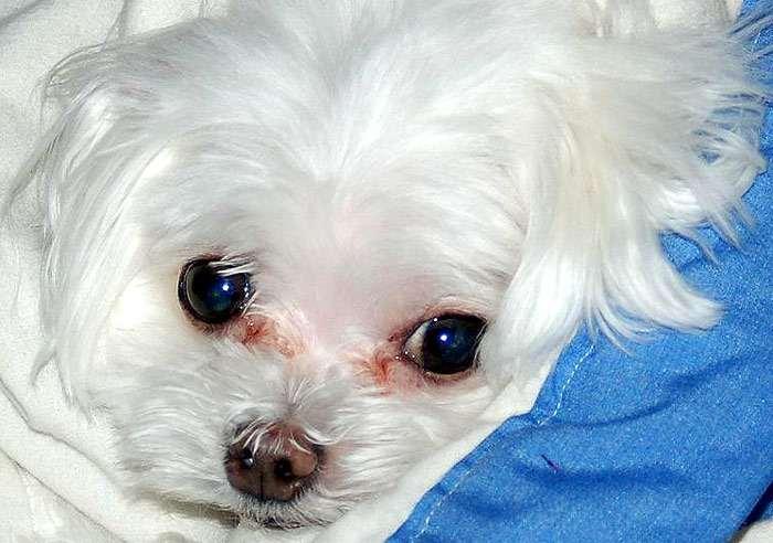 Красные дорожки от слез под глазами бишон-фризе, фото фотография собаки