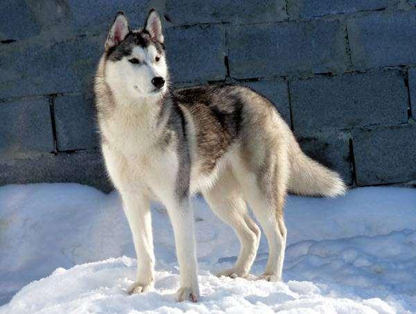 Сибирский хаски, фото породы собак