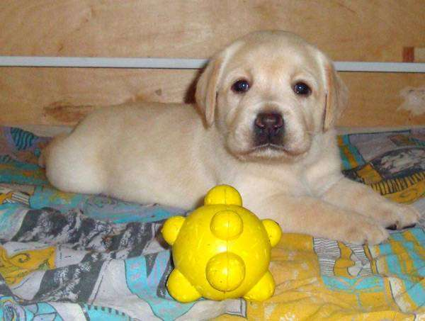 Щенок лабрадора ретривера, фото воспитание выращивание щенка собаки фотография