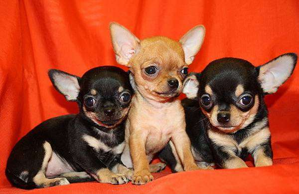 Щенки чихуахуа, фото породы собак фотография