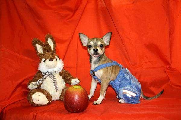 Чихуахуа, фото породы собак фотография