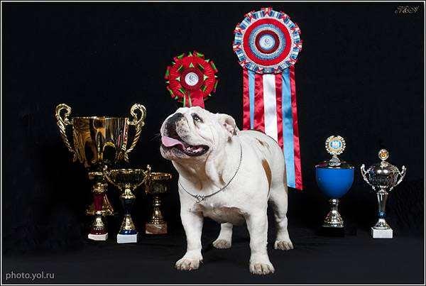 Английский бульдог, фото породы собак фотография