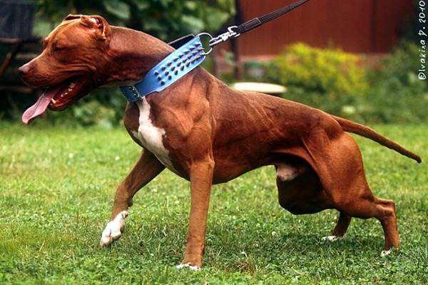 Питбуль, или американский питбультерьер, фото породы собак фотография