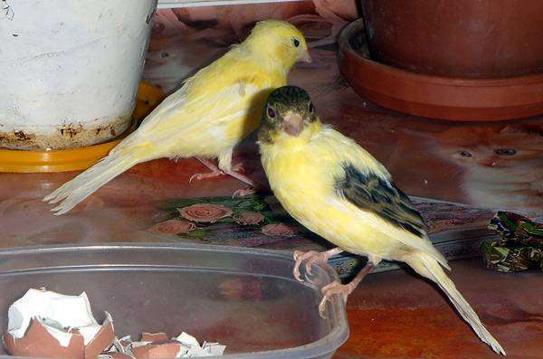 Декоративные канарейки, фото воробьиные птицы фотография