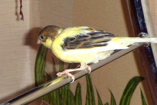 Декоративная канарейка, фото вьюрковые птицы фотография