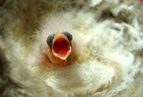 Слепой птенец канарейки, фото разведение канареек птицы фотография
