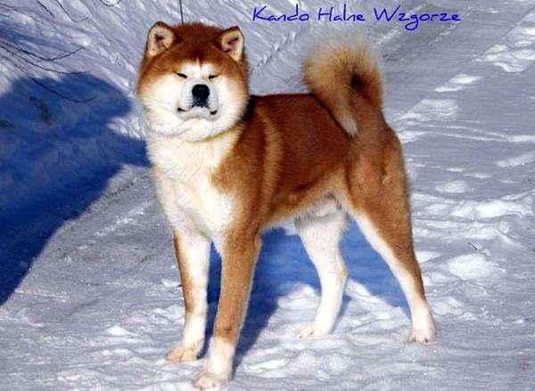 Акита-ину, японская акита, фото породы собак фотография