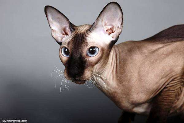 Петербургский сфинкс, петерболд питерболд, кошки породы кошек фото фотография