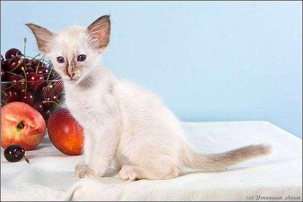 Балинезийская кошка, балинез, балийская кошка котенок, фото породы кошек фотография