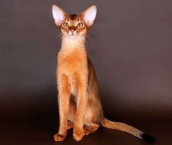 Абиссинская кошка фото породы кошек