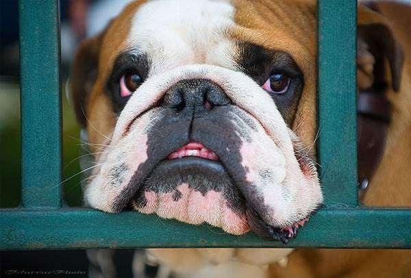 Английский бульдог, фото породы собак фотография собаки