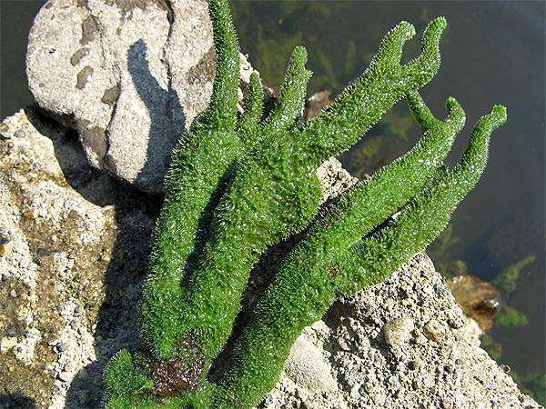 Озерная бодяга (Spongilla lacustris), фото губки фотография