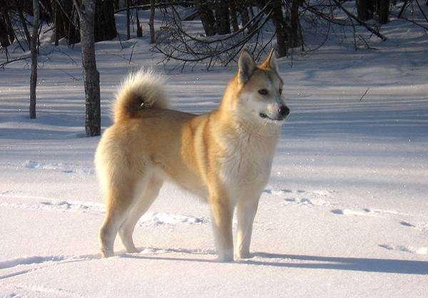 Западно сибирская лайка, фото собаки, фото породы собак