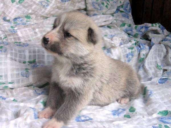 Щенки западносибирской лайки, фото собаки, фото породы собак