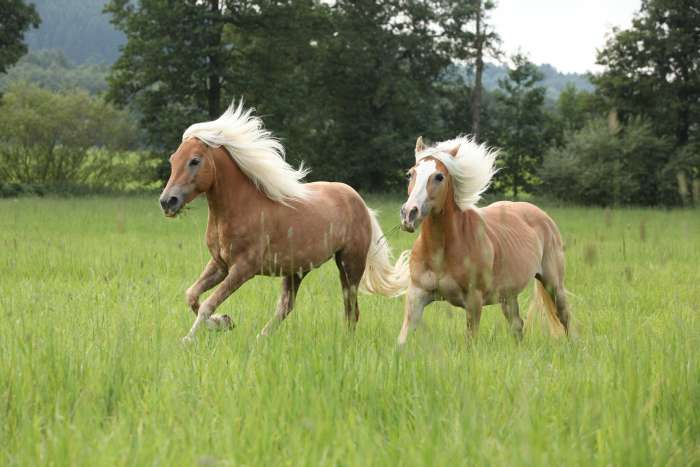 Паломино, фото фотография лошади