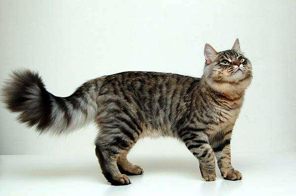 кошки. сибирская порода фото