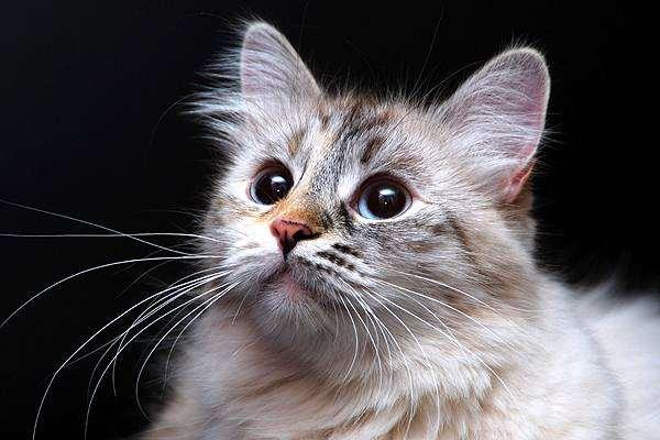 стандарт сибирской кошки
