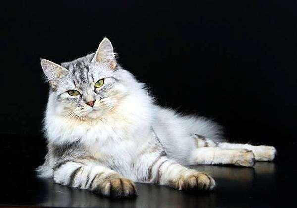 Сибирская кошка стандарт породы