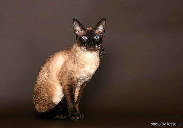 Беременность кошки корниш рекс первая