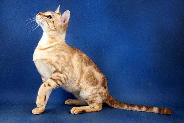 Австралийская дымчатая кошка, Австралийский мист (Australian Mist), фото породы кошек фотография
