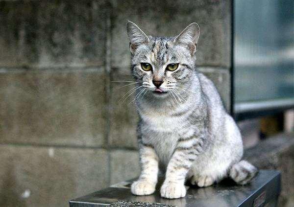 Австралийская дымчатая кошка, Австралийский мист, фото изображение породы кошек фотография
