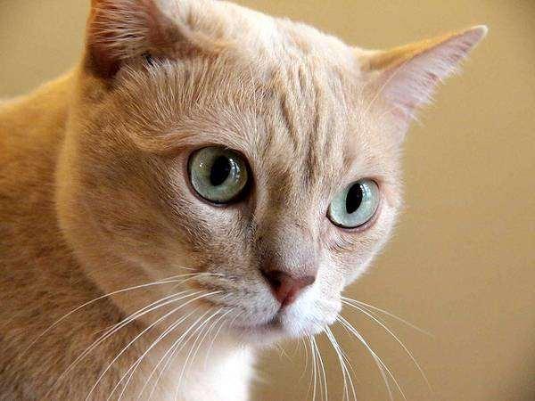 Австралийская дымчатая кошка, фото породы кошек фотография