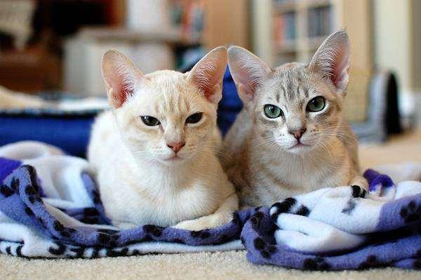 Австралийский мист, фото породы кошек изображение