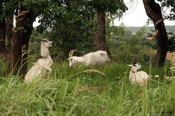 Пасущиеся козы, фото полорогие, фотография парнокопытные