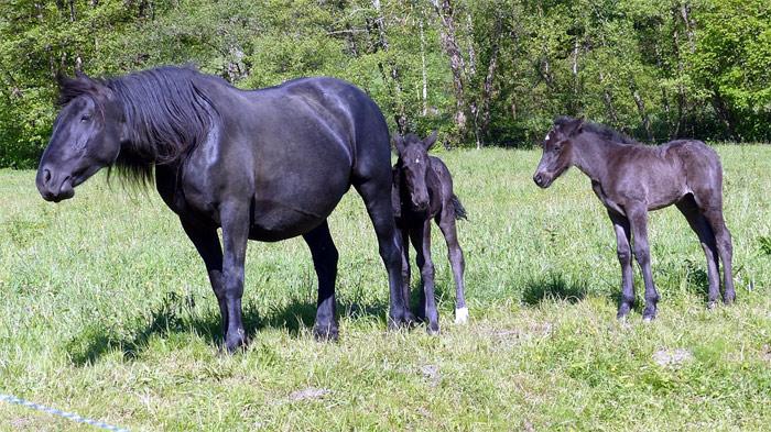 Лошадь матка и два жеребенка, фото фотография
