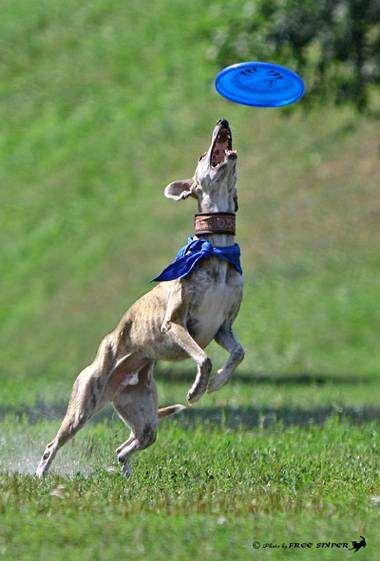 Уиппет, собаки фризби, породы собак фотография фото
