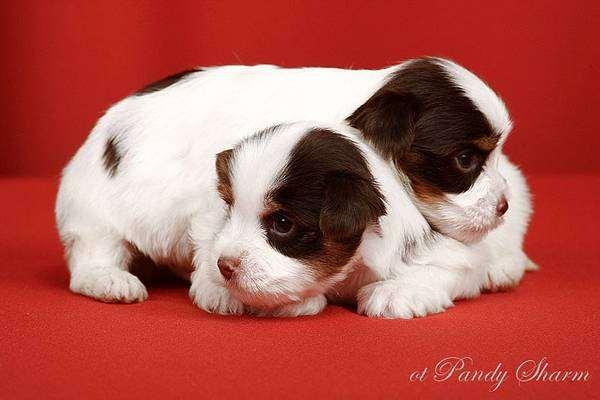 Биро йоркширский терьер щенки, фото породы собак фотография