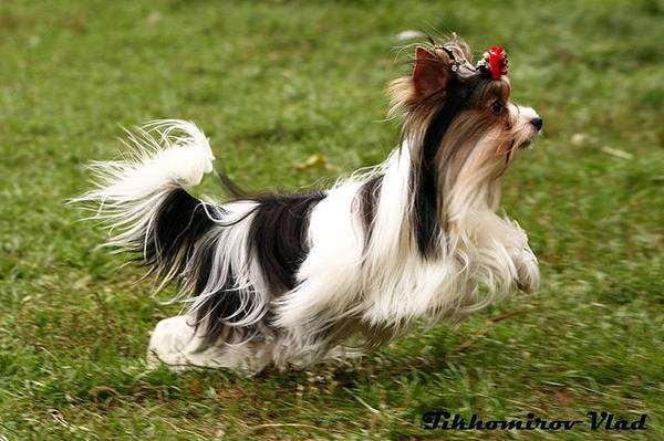 Бивер йоркширский терьер (Biewer Yorkshire Terrier), фото породы собак фотография