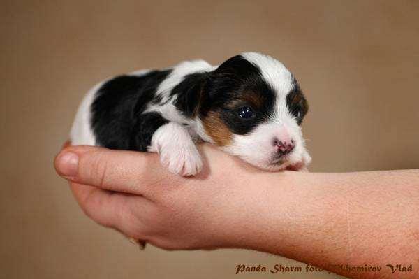 Бивер йоркширский терьер щенок, фото породы собак фотография