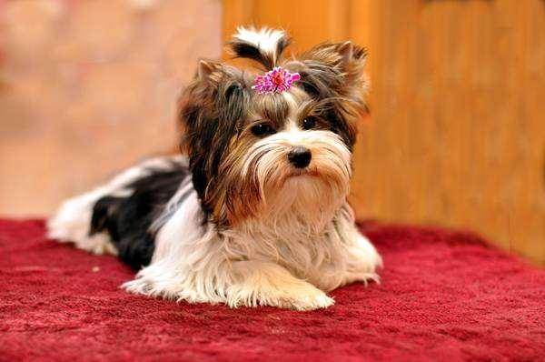 Бивер йоркширский терьер, бивер йорк, фото породы собак фотография