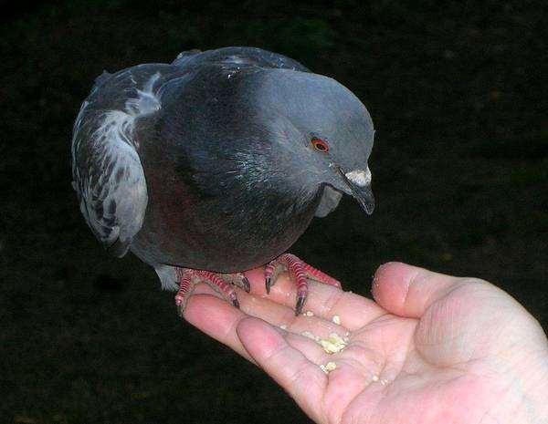 Сизый голубь, или сизарь (Columba livia), птицы фото фотография