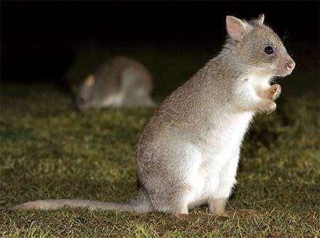 Вид: Aepyprymnus rufescens Gray, 1837 = Большой крысиный кенгуру, рыжая кенгуровая крыса, фото сумчатые животные фотография