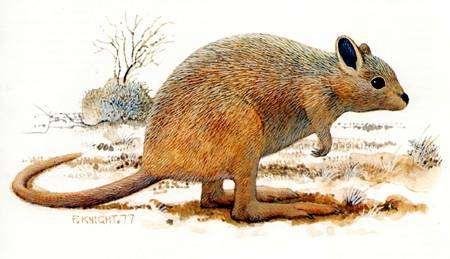 Вид: Caloprymnus campestris Gould, 1843 = Гологрудый кенгуру, степная кенгуровая крыса, картинка сумчатые животные изображение рисунок