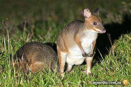 Hypsiprymnodon moschatus Ramsay, 1876 = Мускусный [цепконогий] кенгуру, мускусная кенгуровая крыса, цепконог , фото сумчатые животные фотография