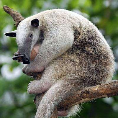 Tamandua mexicana Saussure = Мексиканский тамандуа, фото неполнозубые животные фотография