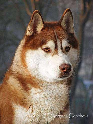 Сибирский хаски, фото собаки, породы собак фотография