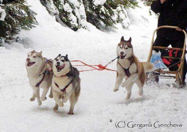 Сибирский хаски, собаки фото, породы собак фотография, собачья упряжка