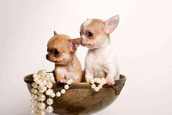 Щенки чихуахуа, породы собак фото, фотография собаки