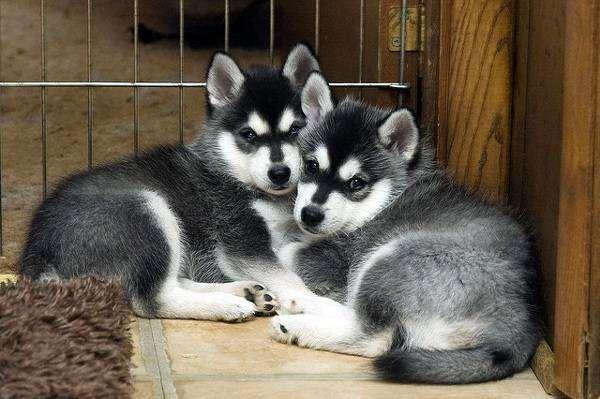 Аляскинский кли кай, фото породы собак фотография