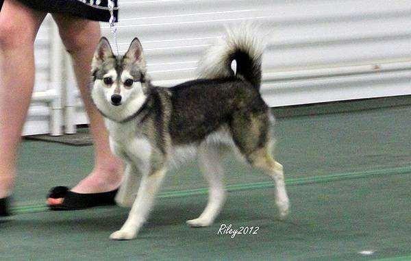 Аляскинский кли кай, породы собак фото фотография изображение
