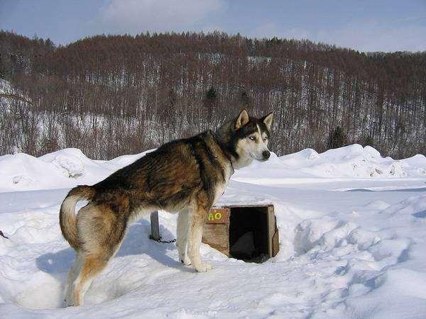 Аляскинский хаски, фото изображение породы собак