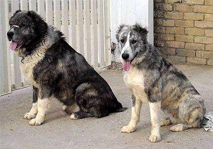 Афганский мастиф Мазари, или Арийский молосс (Aryan Molossus, Khurasani Dog), фото породы собак фотография
