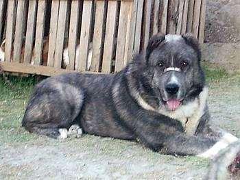 Афганский мастиф Мазари, или Арийский молосс, изображение породы собак фотография